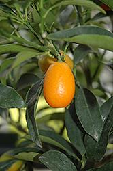 Nagami Kumquat (Citrus japonica 'Nagami') at Roger's Gardens