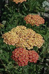 Desert Eve Terracotta Yarrow (Achillea millefolium 'Desert Eve Terracotta') at Roger's Gardens
