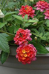 Landmark Sunrise Rose Lantana (Lantana camara 'Landmark Sunrise Rose') at Roger's Gardens