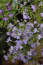 Laguna Sky Blue Lobelia (Lobelia erinus 'Laguna Sky Blue') at Roger's Gardens