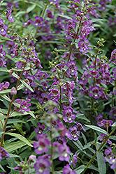 Alonia Dark Blue Angelonia (Angelonia angustifolia 'Alonia Dark Blue') at Roger's Gardens