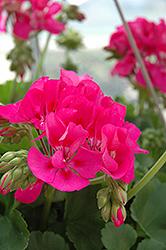 Sunrise Dark Pink Geranium (Pelargonium 'Sunrise Dark Pink') at Roger's Gardens