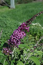 Buzz Pink Purple Butterfly Bush (Buddleia davidii 'Buzz Pink Purple') at Roger's Gardens