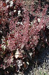 Kira Purple Rain Forest Coral Bells (Heuchera 'Kira Purple Rain Forest') at Roger's Gardens