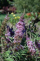 Buzz Violet Butterfly Bush (Buddleia davidii 'Tobudviole') at Roger's Gardens