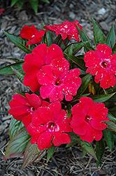 Magnum Dark Red New Guinea Impatiens (Impatiens 'Magnum Dark Red') at Roger's Gardens