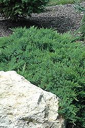 Broadmoor Juniper (Juniperus sabina 'Broadmoor') at Roger's Gardens