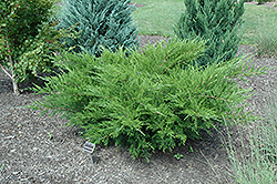 Sea Green Juniper (Juniperus chinensis 'Sea Green') at Roger's Gardens
