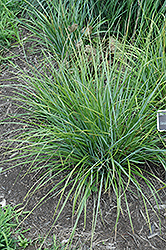 Blue-green Moor Grass (Sesleria heufleriana) at Roger's Gardens