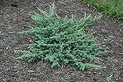 Silver Mist Juniper (Juniperus conferta 'Silver Mist') at Roger's Gardens