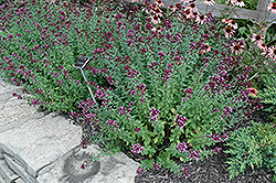 Herrenhausen Oregano (Origanum laevigatum 'Herrenhausen') at Roger's Gardens