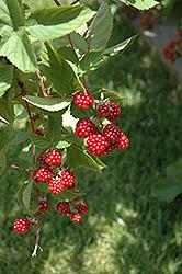 Heritage Raspberry (Rubus 'Heritage') at Roger's Gardens