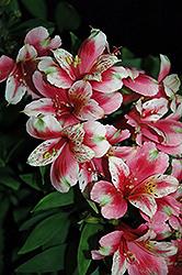 Inca Sweety Alstroemeria (Alstroemeria 'Koncasweet') at Roger's Gardens