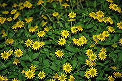 Sunvy Top Gold Creeping Zinnia (Sanvitalia procumbens 'Sunvy Top Gold') at Roger's Gardens