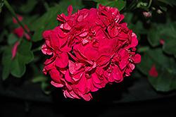 Great Balls of Fire Deep Rose Ivy Leaf Geranium (Pelargonium peltatum 'Great Balls of Fire Deep Rose') at Roger's Gardens