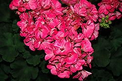 Survivor Pink Passion Geranium (Pelargonium 'Survivor Pink Passion') at Roger's Gardens