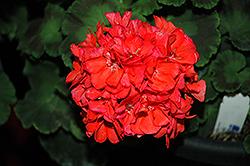 Survivor Coral Geranium (Pelargonium 'Survivor Coral') at Roger's Gardens