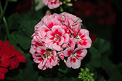 Survivor Pink Mega Splash Geranium (Pelargonium 'Survivor Pink Mega Splash') at Roger's Gardens