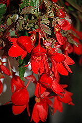 Waterfall Encanto Falls Red Begonia (Begonia boliviensis 'Encanto Falls Red') at Roger's Gardens