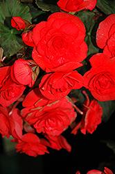 Solenia Red Begonia (Begonia x hiemalis 'Solenia Red') at Roger's Gardens