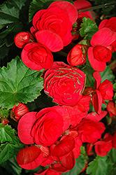 Solenia Cherry Begonia (Begonia x hiemalis 'Solenia Cherry') at Roger's Gardens