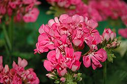 Patriot Tickled Pink Geranium (Pelargonium 'Patriot Tickled Pink') at Roger's Gardens
