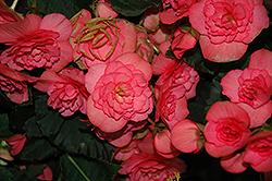 Solenia Pink Begonia (Begonia x hiemalis 'Solenia Pink') at Roger's Gardens