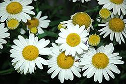 White Mountain Shasta Daisy (Leucanthemum x superbum 'White Mountain') at Roger's Gardens