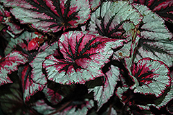 Shadow King Cherry Mint Begonia (Begonia 'Shadow King Cherry Mint') at Roger's Gardens