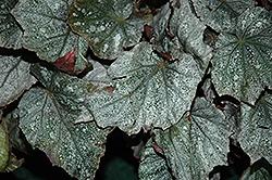 Shadow King Cool White Begonia (Begonia 'Shadow King Cool White') at Roger's Gardens