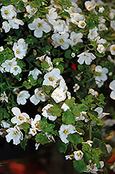 Calypso Jumbo White Bacopa (Sutera cordata 'Calypso Jumbo White') at Roger's Gardens