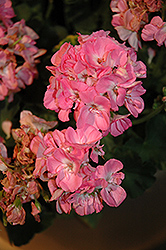 Dynamo Light Pink Geranium (Pelargonium 'Dynamo Light Pink') at Roger's Gardens