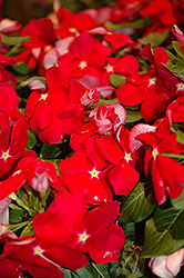 Cora Red Vinca (Catharanthus roseus 'Cora Red') at Roger's Gardens