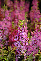 Carita Purple Angelonia (Angelonia angustifolia 'Carita Purple') at Roger's Gardens