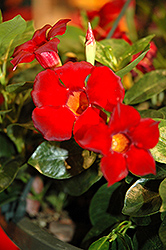 Rio Dark Red Mandevilla (Mandevilla 'Rio Dark Red') at Roger's Gardens