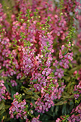 Sungelonia Deep Blue Angelonia (Angelonia angustifolia 'Sungelonia Deep Blue') at Roger's Gardens