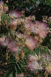 Rosea Mimosa (Albizia julibrissin 'Rosea') at Roger's Gardens