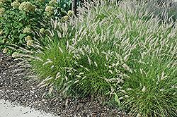 Oriental Fountain Grass (Pennisetum orientale) at Roger's Gardens