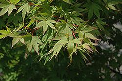 Tobiosho Japanese Maple (Acer palmatum 'Tobiosho') at Roger's Gardens