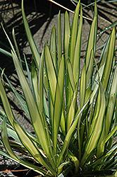 Garland Gold Adam's Needle (Yucca filamentosa 'Garland Gold') at Roger's Gardens