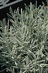 Phenomenal Lavender (Lavandula x intermedia 'Phenomenal') at Roger's Gardens