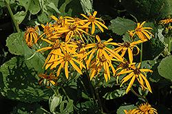 Othello Rayflower (Ligularia dentata 'Othello') at Roger's Gardens