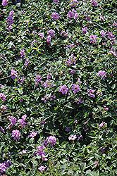Purple Trailing Lantana (Lantana montevidensis) at Roger's Gardens