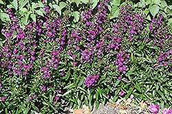 Angelface Dark Violet Angelonia (Angelonia angustifolia 'Angelface Dark Violet') at Roger's Gardens