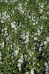 Angelface White Angelonia (Angelonia angustifolia 'Anwhitim') at Roger's Gardens