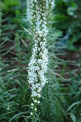 White Blazing Star (Liatris spicata 'Alba') at Roger's Gardens