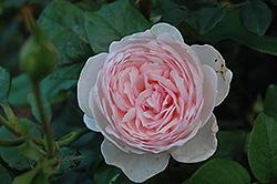 Heritage Rose (Rosa 'Heritage') at Roger's Gardens
