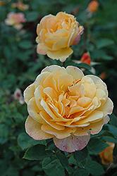 Strike It Rich Rose (Rosa 'Strike It Rich') at Roger's Gardens