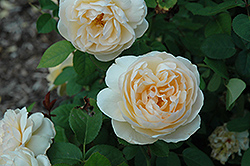 Jayne Austin Rose (Rosa 'Ausbreak') at Roger's Gardens