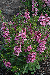 Angelface Deep Pink Angelonia (Angelonia angustifolia 'Angelface Deep Pink') at Roger's Gardens